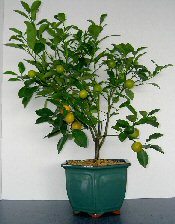Tangerine Citrus Bonsai Tree