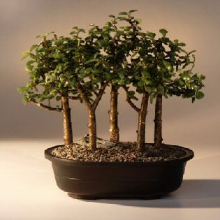 Baby Jade Bonsai Tree Five Tree Forest Group