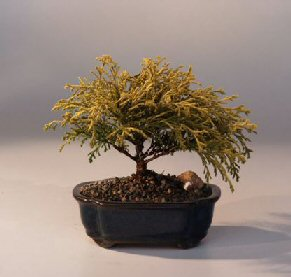 Gold Thread Cypress Bonsai Tree Medium