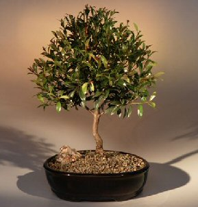 Flowering Brush Cherry Bonsai Tree - Large