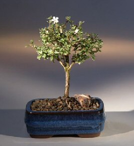 Serissa bonsai tree small mellobonsai serissa bonsai tree small the foetida has delicate white flowers mightylinksfo