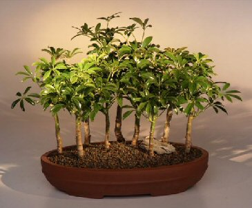 Hawaiian Umbrella Bonsai Tree - 9 Tree Forest Group