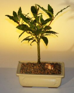 Bay Leaf Bonsai Tree - Medium