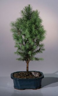 Dwarf Alberta Spruce Bonsai Tree