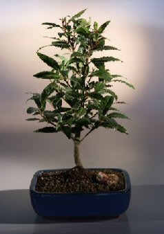 Bay Leaf Bonsai Tree