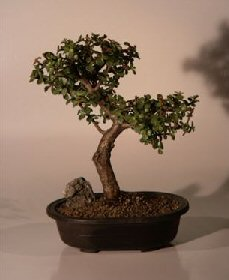 Baby Jade  Bonsai Tree - Trained Extra Large