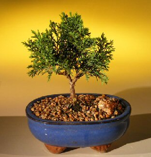 Shimpaku Bonsai Tree Bonsai Tree - Small
