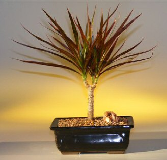 Dracaena Bonsai Tree