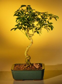 Hawaiian Umbrella Bonsai Tree - Curved Trunk