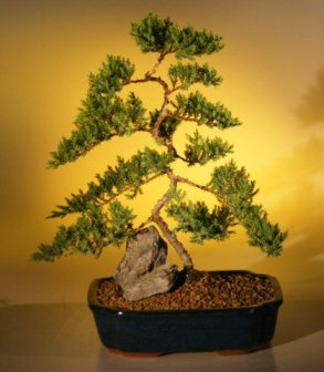 Juniper Karate Kid Bonsai Tree - Extra Large