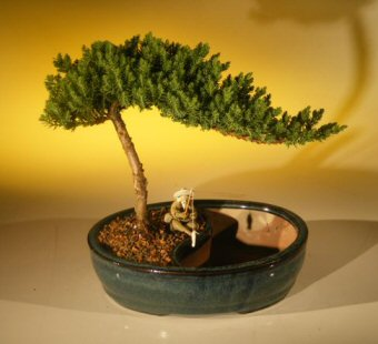 Juniper Bonsai Tree/Water Bonsai Pot - Medium