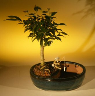 Ficus Oriental Bonsai Tree/Water Bonsai Pot