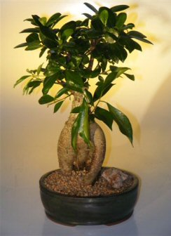 Ginseng Ficus Bonsai Tree - Large
