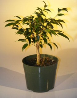 Pre Bonsai Ficus Midnight Bonsai Tree