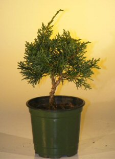 Pre Bonsai Shimpaku Bonsai Tree - Small