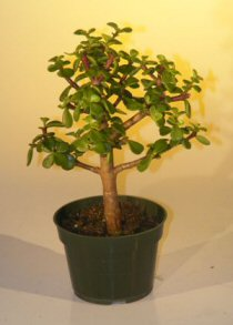 Pre Bonsai Baby Jade Bonsai Tree  - Medium