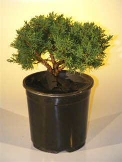 Pre Bonsai Shimpaku Bonsai Tree Bonsai Tree - Large