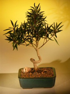 Willow Leaf Ficus Bonsai Tree - Coiled Trunk  Large