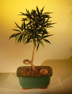 Willow Leaf Ficus Bonsai Tree - Coiled Trunk  Medium