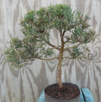 Juniper prebonsai