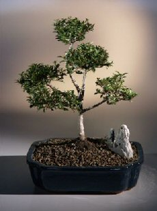 "Brush Cherry  ""POM-POM"" Style Bonsai Tree"
