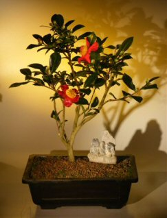 Flowering Camellia  Bonsai Tree