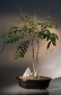 Japanese Wisteria Bonsai Tree