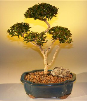 "Brush Cherry - ""POM-POM"" Style Bonsai Tree"