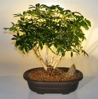 Hawaiian Umbrella Bonsai Tree - Multi-Trunk Style