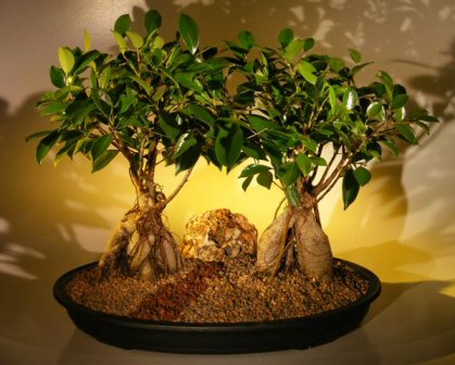 Ginseng Ficus Bonsai Tree - Double Tree Planting
