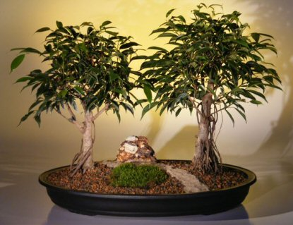 Ficus Bonsai Tree  - Double