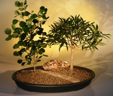 Willow Leaf Ficus  Mistletoe Fig Bonsai Planting