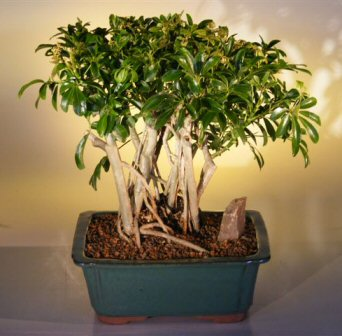 Hawaiian Umbrella Bonsai Tree - Variegated