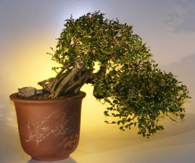 Chinese Elm Bonsai Tree Cascade Style