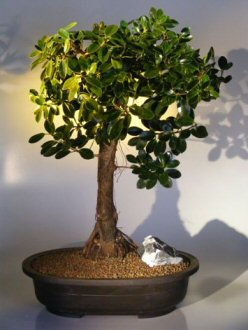 Green Emerald Ficus Bonsai Tree