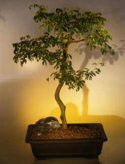 Brazilian Raintree Bonsai Tree