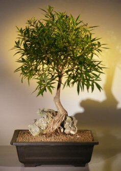 Willow Leaf Ficus Bonsai Tree - Root over Rock