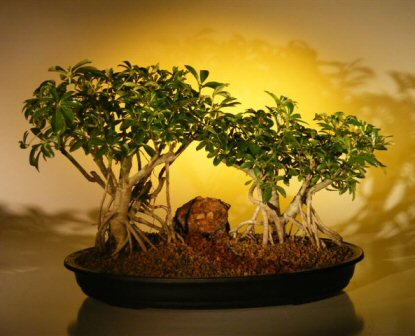 Variegated Hawaiian Umbrella Bonsai Tree
