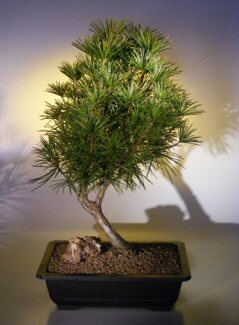 "Japanese Umbrella Pine - 18"" x 14"" x 28"""