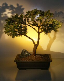 White Spruce Bonsai Tree