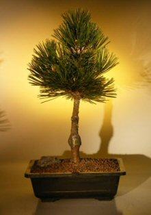 Bosnian Pine Bonsai Tree Mellobonsai Com