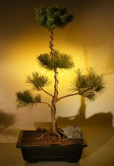 White Pine Bonsai Tree - Pom Pom Style