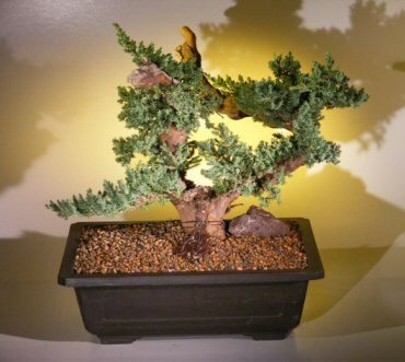Juniper Bonsai Tree - Phoenix Graft