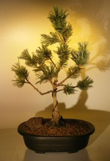 White Pine Bonsai Tree