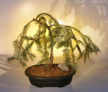 Weeping Hemlock Bonsai Tree