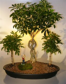 Hawaiian Umbrella Bonsai Tree - Golf Group Scene