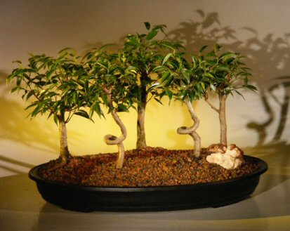 Ficus Bonsai Tree - 5 Tree Forest Group