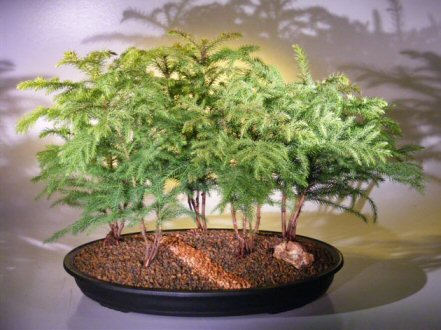 Norfolk Island Pine Bonsai Tree - Forest Group