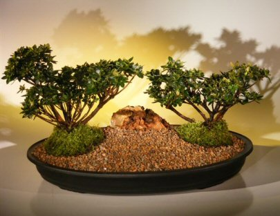 Azalea  Bonsai Tree - Double