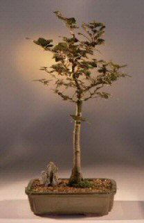 Copper Beech Bonsai Tree